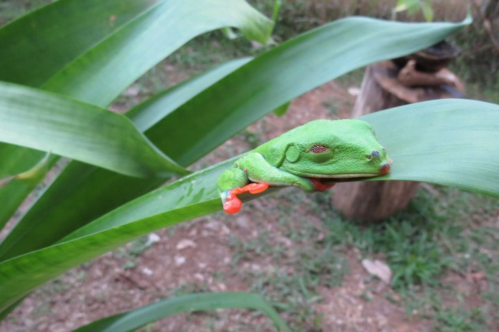 Red Eyed Tree Frog Sleeping
