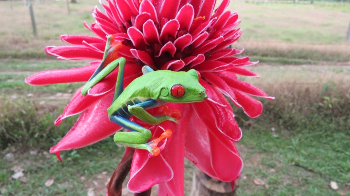 Red Eyed Tree Frog Colors