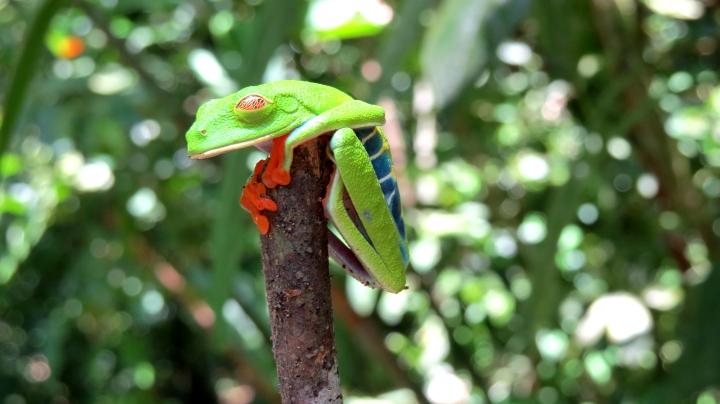 Red Eyed Tree Frog half awake